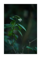2018/9/8 - 16/21 photo by shin ikegami. - SONY ILCE‑7M2 / Lomography New Jupiter 3+ 1.5/50 L39/M (shin ikegami) Tags: macro マクロ 紫陽花 flower 花 sony ilce7m2 sonyilce7m2 a7ii 50mm lomography lomoartlens newjupiter3 tokyo sonycamera photo photographer 単焦点 iso800 ndfilter light shadow 自然 nature 玉ボケ bokeh depthoffield naturephotography art photography japan earth asia