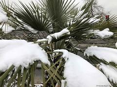 palmier-avec-de-la-neige© (alexandrarougeron) Tags: photo alexandra rougeron neige urbain paysage nature paris