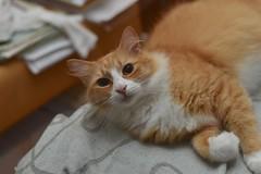 late nights with Jimmy (1 of 3) (rootcrop54) Tags: jimmy orange ginger male tabby cat latenight beingcute letmestay neko macska kedi 猫 kočka kissa γάτα köttur kucing gatto 고양이 kaķis katė katt katze katzen kot кошка mačka gatos maček kitteh chat ネコ