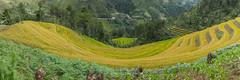 _J5K2397-401.0918.Dế Xu Phình.Mù Cang Chải.Yên Bái. (hoanglongphoto) Tags: asia asian vietnam northvietnam northwestvietnam landscape vietnamlandscape vietnamscenery scenery vietnamscene mountain flanksmountain terraces terracedfields harvest seasonharvest flower canon canoneos1dsmarkiii canonef2470mmf28liiusm tâybắc yênbái mùcangchải dếsuphình phongcảnh phongcảnhmùcangchải mùcangchảichảimùalúachín mùcangchảimùagặt ruộngbậcthang ruộngbậcthangmùcangchải núi sườnnúi panorama