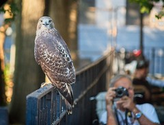 Tompkins Square red-tail fledgling (Goggla) Tags: fledgling a2 nyc new york east village tompkins square park urban wildlife bird raptor red tail hawk 2 fence jerry
