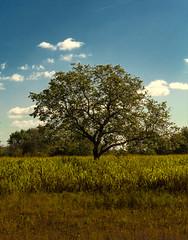 Out in the Fields (tucsontec) Tags: landschaft landscape landleben tree outdoor germany baum feld field fotografie wolken clouds cloudscape natur nature gras autumn herbst naturepics