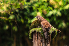 GHEPPIO    ----    KESTREL (Ezio Donati is ) Tags: uccelli birds animali animals alberi trees natura nature italia oasidisantalessio provinciadipavia