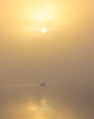 Swan at foggy sunrise (Andrelo2014) Tags: misty fog sunrise swan schwan sonnenaufgang nebel