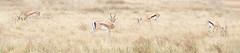 Thompson Gazelles on the plains (sharp shooter2011) Tags: gazelle thompsonsgazelle africa tanzania wildlifephotography