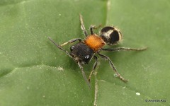 Velvet ant, Pertyella sp.? Mutillidae (Ecuador Megadiverso) Tags: andreaskay ecuador hymenoptera mindo mutillidae velvetant vespidae wasp
