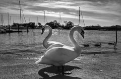 Twos company (Westhamwolf) Tags: swan white sea boats sky christchurch dorset england