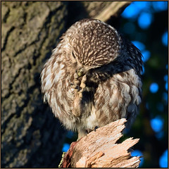 Little Owl (image 2 of 2) (Full Moon Images) Tags: wildlife nature bird birdofprey little owl cambridgeshire fens