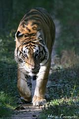 Tigre de Sumatra / Sumatran Tiger (Herve Tainturier) Tags: tigre tigredesumatra sumatrantiger