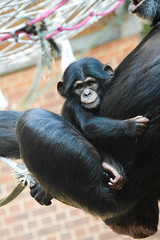 Western Chimpanzee (Seventh Heaven Photography) Tags: western chimpanzee chimp west african pan troglodytes verus animal pantroglodytesverus mammal primate baby juvenile stevie zeezee mum nikond3200 chester zoo cheshire criticallyendangered female