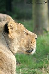 sleeping beauty (MiChaH) Tags: diergaarde dierentuin zoo blijdorp rotterdam 2018 dieren animals wild liones leeuwin