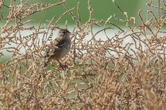 Golden-crowned Sparrow (Zonotrichia atricapilla) (byjcb) Tags: sparrow birds sparks nevada unitedstates us