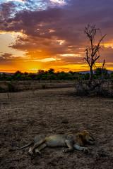 The lion sleeps tonight (PhilHydePhotos) Tags: africa lions safari sandriver selousgamereserve tanzania wildlife