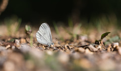 IMG_8402 (music_man800) Tags: leptidea sinapis wood white butterfly butterflies insect lepidoptera wildlife nature flora fauna natural light animal outdoors outside reserve uk united kingdom oaken nr chiddingfold forest woods trees surrey countryside rural walk hike day out july 2018 sunny afternoon late sun path puddling adult individual canon 700d adobe lightroom creative cloud edit photography sigma 150mm macro prime lens sharp focus depth field arty