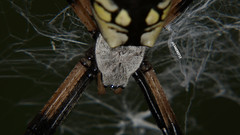 DSC04868_c (camerot13) Tags: macro macros bug bugs closeup nature wildlife outdoors spider spiders arachnid arachnids wed cobweb spiderweb spooky scary creepy crawler