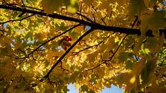 voll der Herbst 02 (p.schmal) Tags: olympuspenf hamburg farmsenberne herbstfarben