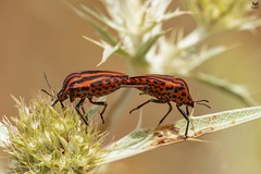 Percevejo das riscas, Striped Shield Bug (Graphosoma lineatum italicum) (Nuno Xavier Moreira) Tags: percevejodasriscas stripedshieldbuggraphosomalineatumitalicummacronunoxavierlopesmoreira animals animais nature natureza selvagem pics wildlife wildnature wild photographer portugal ao ar livre ngc nuno xavier moreira nunoxaviermoreira liberdade national geographic butterflies macro miniaturas insectos insects all xpress us
