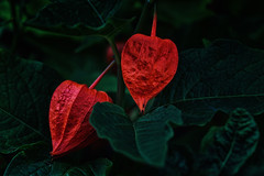 Red (anderswetterstam) Tags: berries fall nature park parks plants seasons red dark autumn green changes closeup