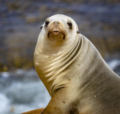 18A_1466 (Mark Ritter) Tags: seal seals macro lajolla california