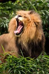 Yawning 3-0 F LR 10-7-18 J140 (sunspotimages) Tags: nature wildlife animal animals lion lions malelion malelions zoo zoosofnorthamerica zoos nationalzoo fonz fonz2018