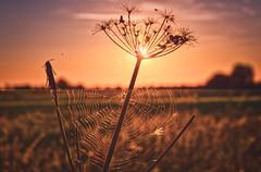 Not  a Food Beginning With 'B' (iratebadger) Tags: nikon nikond7100 d7100 sky shadows silhouette sunset sun cobweb web highlights dark nature plant autumn rural yorkshire iratebadger orange yellow
