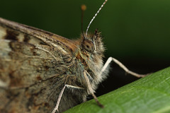 A suprised speckled wood butterfly (Lord V) Tags: macro bug insect butterfly speckledwood