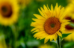 _DSC2671.jpg (David Hamments) Tags: zurich sunflowers ontario field flickrunitedaward ngc fantasticnature
