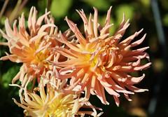 Dahlie (Hugo von Schreck) Tags: hugovonschreck flower blume blüte dahlie macro makro canoneos5dsr tamron28300mmf3563divcpzda010