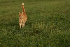 On alert (Onnalua) Tags: cat chat roux rouquin field champs pré alert en alerte uncomfortable