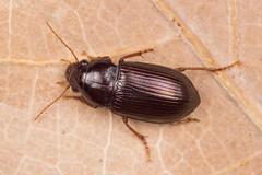 Amara majuscula (NakaRB) Tags: 2017 insecta coleoptera carabidae amaramajuscula