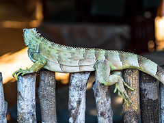 Iguana (elzauer) Tags: iguana lizard tropicalrainforest animal animalwildlife animalsinthewild brazil greencolor greeniguana iguanafamily landscape latinamerica outdoors photography planting reptile scenicsnature southamerica sunlight sunny theamericas
