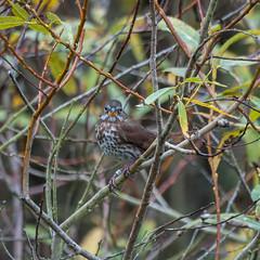 Fox Sparrow (Sooty) (phoca2004) Tags: birding birds concretebridge d90 foxsparrow lakemerced nikon passerellailiaca sanfrancisco california unitedstates us foxsparrowsooty