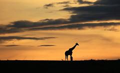 Sunset - Masaï Mara - Kenya (lotusblancphotography) Tags: africa afrique masaïmara kenya nature landscape paysage sunset crépuscule sky ciel clouds nuages silhouette giraffe girafe
