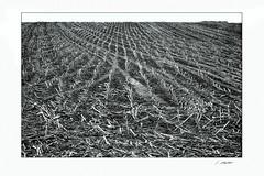 Ampertal280 (siggi.martin) Tags: europa europe deutschland germany bayern bavaria maisfeld cornfield abgeerntet harvested muster pattern graphisch graphical schwarzweis blackandwhite stoppeln stubbles viele many gleichmäsig evenly landwirtschaft agricultur