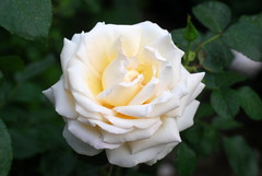 Wenn ich in Todesnöten bin (amras_de) Tags: rose rosen ruža rosa ruže rozo roos arrosa ruusut rós rózsa rože rozes rozen roser róza trandafir vrtnica rossläktet gül blüte blume flor cvijet kvet blomst flower floro õis lore kukka fleur bláth virág blóm fiore flos žiedas zieds bloem blome kwiat floare ciuri flouer cvet blomma çiçek