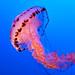 Jellyfish, Monterey Aquarium, California