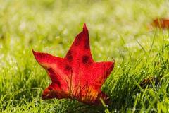 Twinkle twinkle (frattonparker) Tags: afsnikkor28300mmf3556gedvr btonner bokeh isleofwight lightroom6 nikond810 raw frattonparker autumn leaf grass dew depthoffield contrejour backlit morning maple