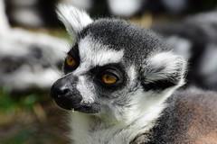 Ring Tailed Lemur (Bury Gardener) Tags: banham banhamzoo zoo mammals wildlife animal animals 2018 nikond7200 nikon norfolk england eastanglia uk britain snaps