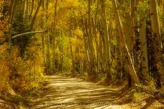 Colorado Aspens (RondaKimbrow) Tags: fall2018 colorado aspen fall autumn dirtroad road lastdollarroad trees sanjuan mountains golden glow canon canon7d canon24105 telluride ouray ridgway whereiwanttobe
