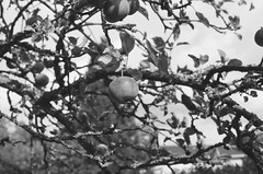Apples (EsaGraf 35mm) Tags: apple communitygarden herttoniemi filmphoto 35mm agfaphotoapx400