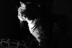 Mickey at sunset 2 B&W (fcruz62) Tags: mickey cat d750 nikon