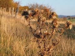 Distel (michaelmueller410) Tags: thistle fence grass distel zaun gras karst harz landschaft landscape october oktober herbst autumn fall braun brown
