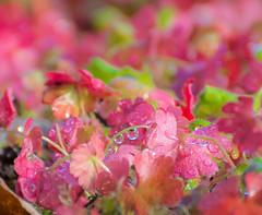 Red Clover. (Omygodtom) Tags: macro red clover wet raindrop selectivefocus scene natural nature 7dwf nikon70300mmvrlens d7100 perspective dof usgs flora