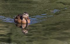 9Q6A3529 (2) (Alinbidford) Tags: alancurtis brandonmarsh mallard nature wildbirds wildlife