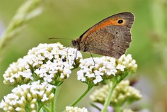 Brown feeds. (pstone646) Tags: butterfly nature insect brown green white flora fauna flower bokeh wildlife closeup meadow animal
