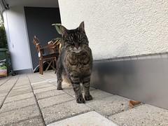 Tabby (tabbynera) Tags: cat