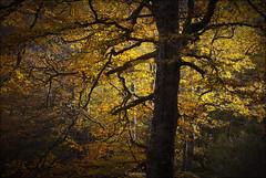 Otoño. Hayedo de El Saja, Cantabria (Jesús Gabán) Tags: jesusgaban otoño autumn elsaja cantabria bosque forest hayedo