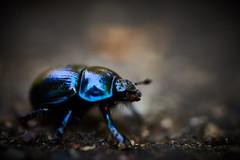 AT-AT Buggy Walker - alpha7iii - sigma 70 - Anoplotrupes stercorosus (DonKamilo1984) Tags: bug autumn shiny colorfull t1000 atat anoplotrupes stercorosus käfer forest