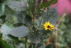 DSC09432 (Old Lenses New Camera) Tags: sony a7r olympus zuiko automacro zuikoautomacro 135mm f45 macro plants garden flowers blackeyedsusan