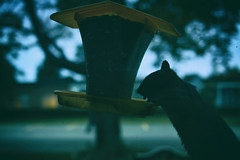 Evening Bandit (flashfix) Tags: september272018 2018inphotos flashfix flashfixphotography ottawa ontario canada nikond7100 40mm squirrel feeder nature mothernature rodent animal seed silhouette